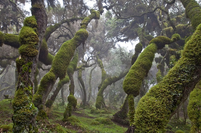 Harena Forest, Bale Mountains