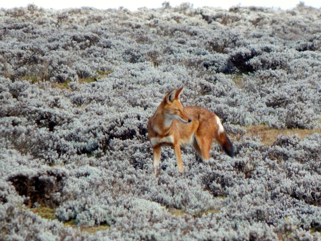 Ethiopian Wolf, Bale Mountains