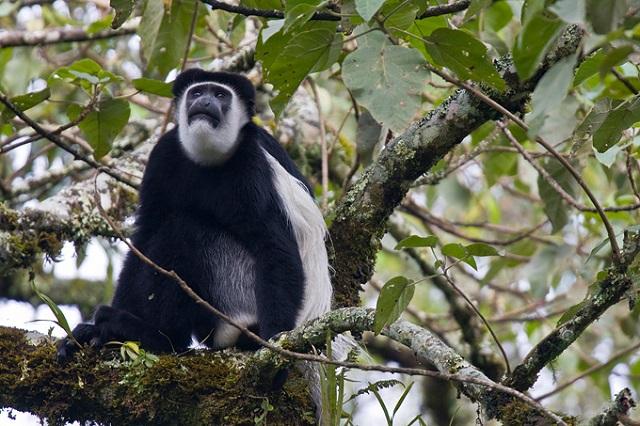Colobus Monkey, Bonga