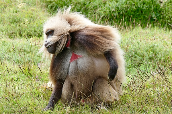 Gelada Baboon, Simien Mountains