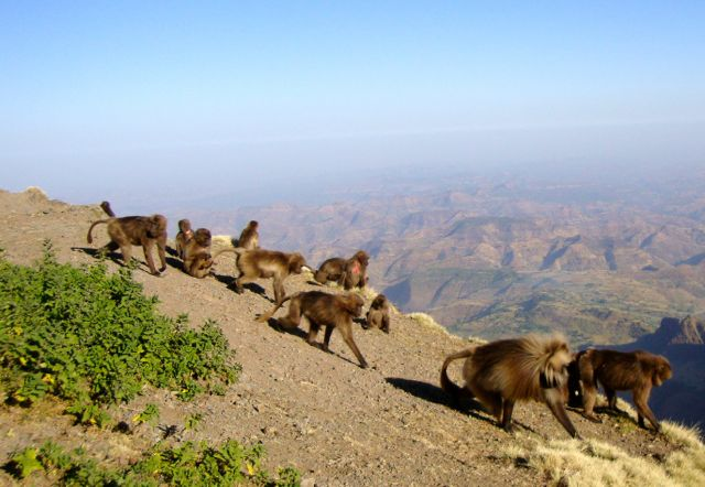Gelada Baboons, Simien Mountains