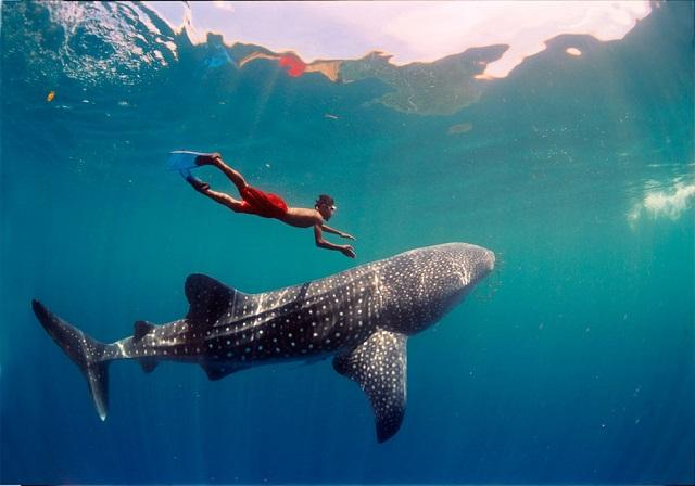 Whale Sharks, Djibouti